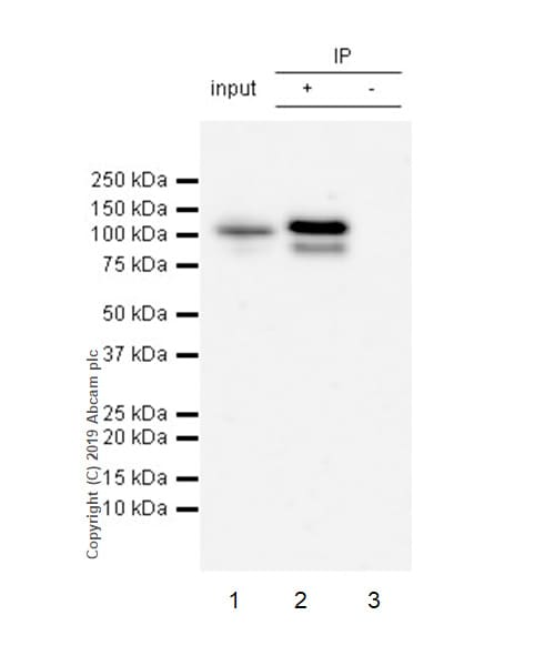 Immunoprecipitation - Anti-STAT6 (phospho Y641) antibody [EPR22599-52] - BSA and Azide free (ab263949)