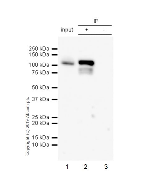 Immunoprecipitation - Anti-STAT6 (phospho Y641) antibody [EPR22599-78] - BSA and Azide free (ab263950)