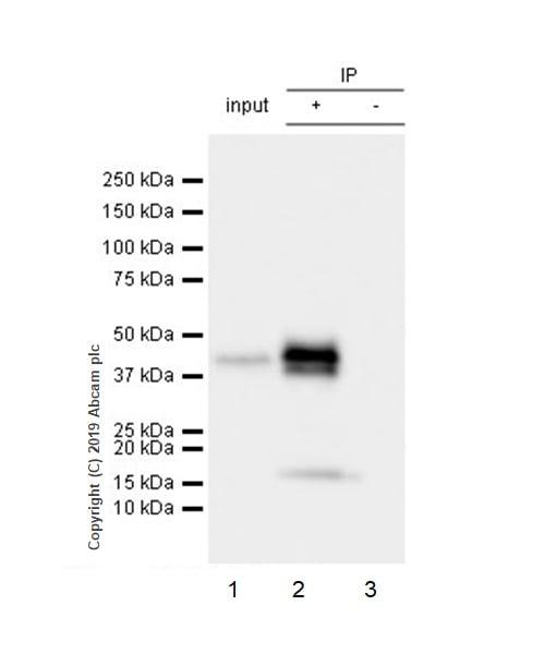 Immunoprecipitation - Anti-TIA1 antibody [EPR22999-80] - BSA and Azide free (ab263953)