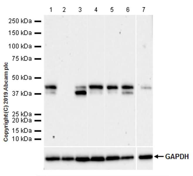 Western blot - Anti-TIA1 antibody [EPR22999-80] - BSA and Azide free (ab263953)