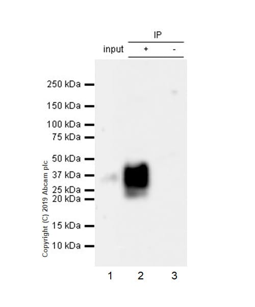 Immunoprecipitation - Anti-IL-22 antibody [EPR20211-49] - BSA and Azide free (ab263954)