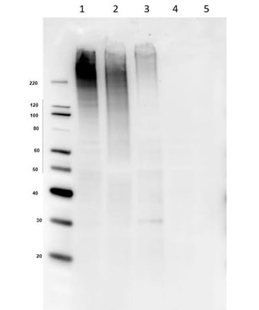 Western blot - Anti-MUC4 antibody [3C7.D8.E11.F5] (ab263957)