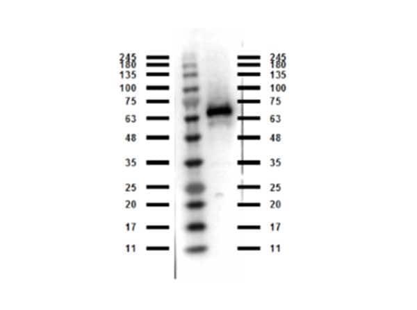 Western blot - Anti-Abi-1 antibody (ab263960)