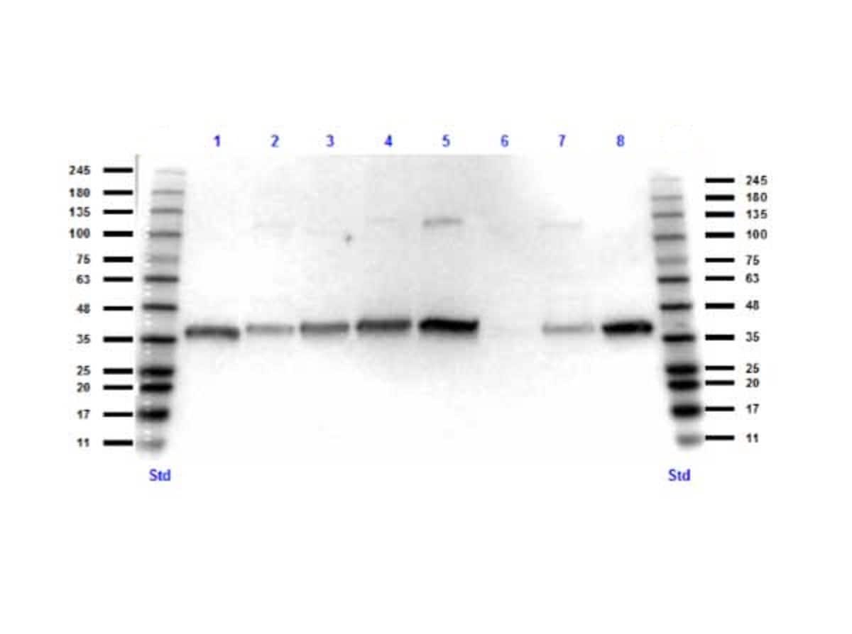Western blot - Anti-GAPDH antibody (ab263962)