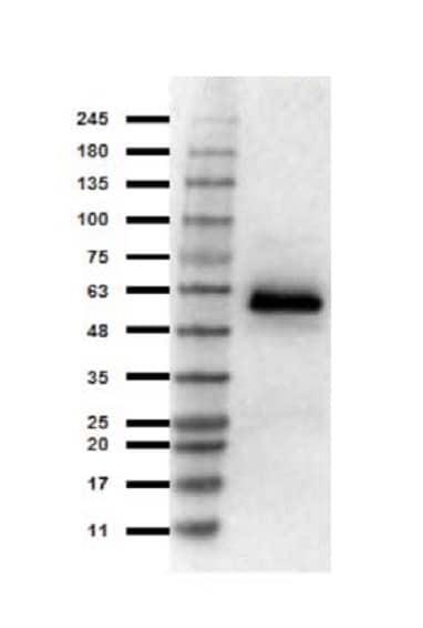 Western blot - Anti-HSF1 antibody (ab263963)