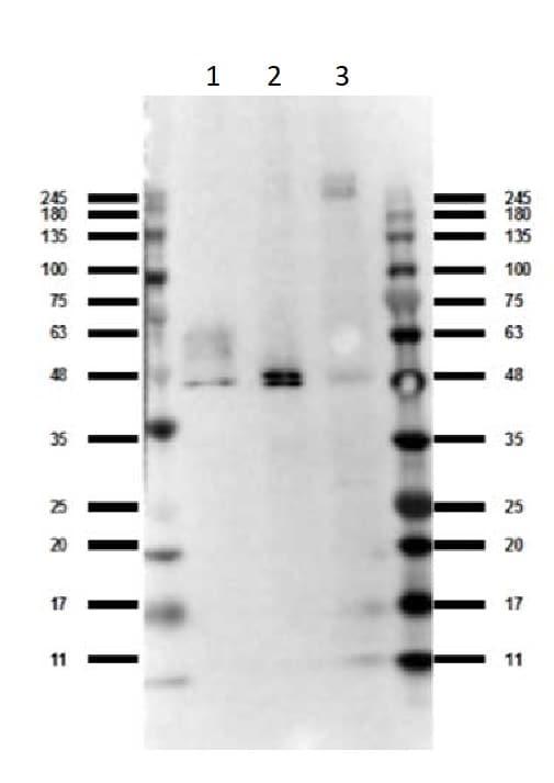 Western blot - Anti-GPCR GPR120 antibody (ab263964)