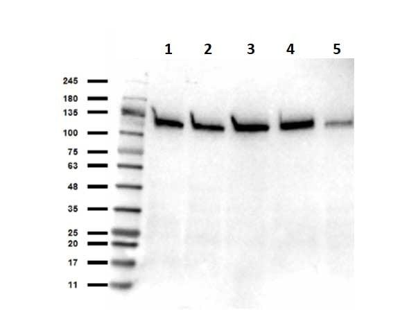 Western blot - Anti-SIRT1 antibody (ab263965)