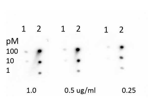 Dot Blot - Anti-Rb (methyl K860) antibody (ab263969)