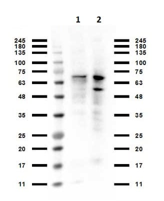 Western blot - Anti-PIAS1 antibody (ab263970)