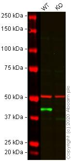 Western blot - Human ACTA2 knockout HeLa cell line (ab264014)