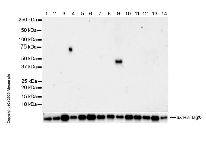 Western blot - Anti-IDH2 (mutated R172M) antibody [MMab-1] - BSA and Azide free (ab264061)
