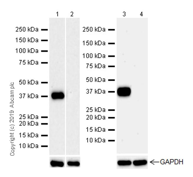 Western blot - Anti-Arg2 antibody [EPR22626-38] (ab264066)