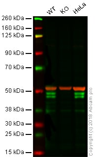 Western blot - Anti-RUNX3 antibody [R3-5G4] - BSA and Azide free (ab264068)