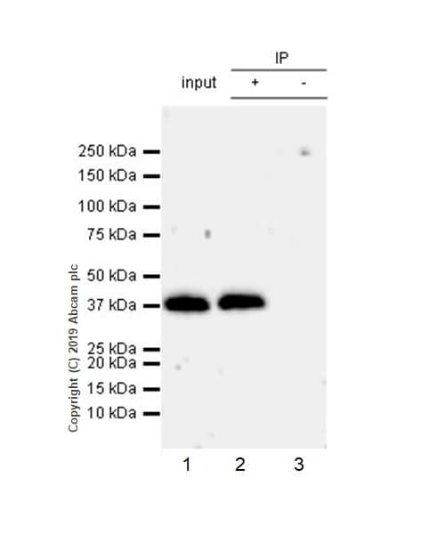 Immunoprecipitation - Anti-Arg2 antibody [EPR22626-38] - BSA and Azide free (ab264071)