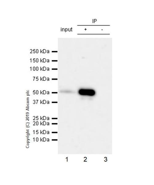 Immunoprecipitation - Anti-RUNX2 antibody [EPR22858-106] - BSA and Azide free (ab264077)