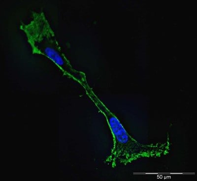 Immunocytochemistry/ Immunofluorescence - Anti-beta Actin antibody [mAbcam 8226] - BSA and Azide free (ab264083)