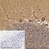Immunohistochemistry (Formalin/PFA-fixed paraffin-embedded sections) - Anti-beta III Tubulin antibody [5G8] - BSA and Azide free (ab264113)