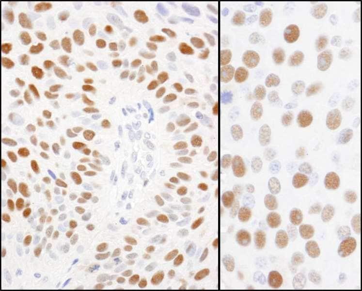 Immunohistochemistry (Formalin/PFA-fixed paraffin-embedded sections) - Anti-MCM2 (phospho S108) antibody (ab264114)