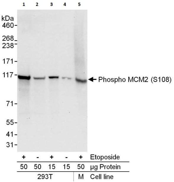Western blot - Anti-MCM2 (phospho S108) antibody (ab264114)