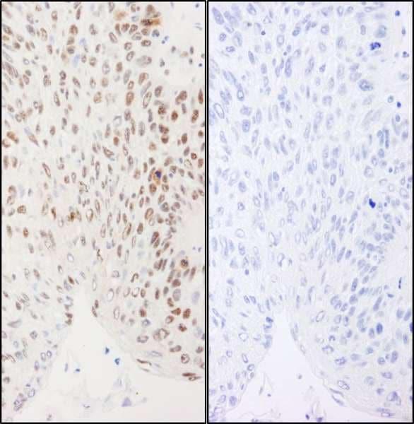 Immunohistochemistry (Formalin/PFA-fixed paraffin-embedded sections) - Anti-XRCC1 antibody (ab264115)
