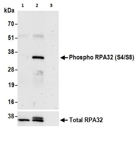 Immunoprecipitation - Anti-Rpa2 (phospho S4 + S8) antibody (ab264116)