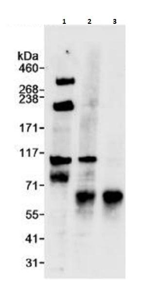 Immunoprecipitation - Anti-TPX2 antibody (ab264124)