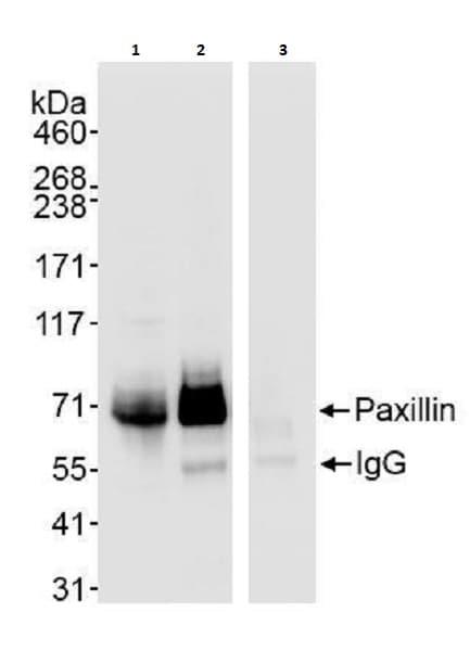 Immunoprecipitation - Anti-Paxillin antibody (ab264125)