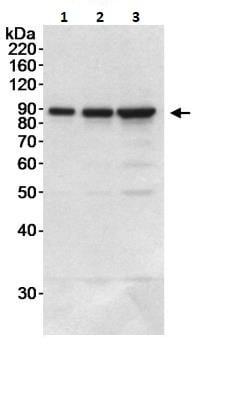 Western blot - Anti-DDX1 antibody (ab264130)
