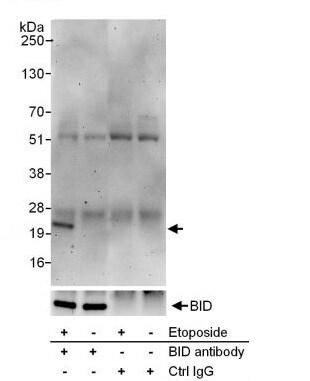 Immunoprecipitation - Anti-BID (phospho S78) antibody (ab264131)