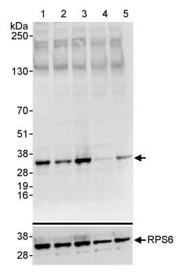Western blot - Anti-RPS6 (phospho S235 + S236) antibody (ab264135)