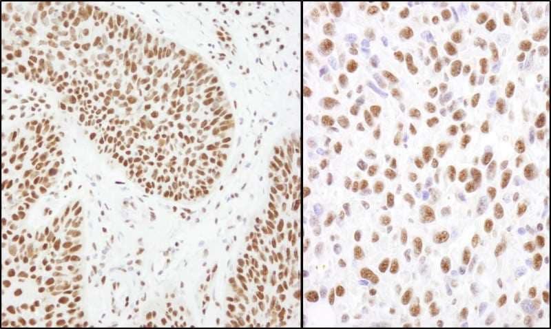 Immunohistochemistry (Formalin/PFA-fixed paraffin-embedded sections) - Anti-Matrin 3 antibody (ab264136)