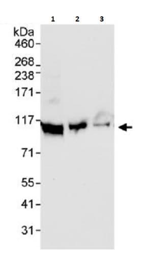 Western blot - Anti-DDX21 antibody (ab264137)