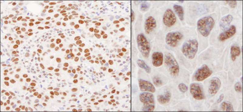 Immunohistochemistry (Formalin/PFA-fixed paraffin-embedded sections) - Anti-hnRNP U/p120 antibody (ab264141)