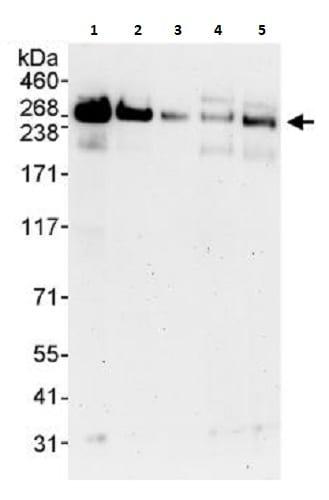 Western blot - Anti-NUP214 antibody (ab264143)