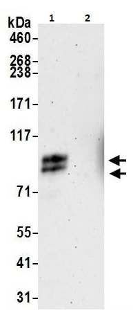 Immunoprecipitation - Anti-TORC1 antibody (ab264144)