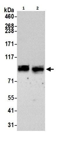 Western blot - Anti-TORC1 antibody (ab264144)