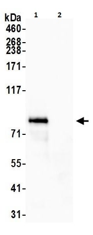 Immunoprecipitation - Anti-MCAK antibody (ab264148)