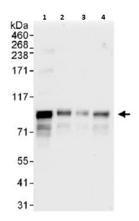 Western blot - Anti-MCAK antibody (ab264149)