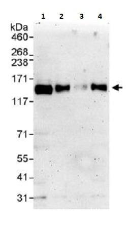 Western blot - Anti-TRIM24 antibody (ab264150)