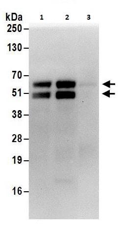 Immunoprecipitation - Anti-Fox2 / RBM9 antibody (ab264154)