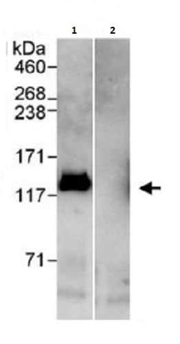 Immunoprecipitation - Anti-E1 Ubiquitin Activating Enzyme 1/UBA1 antibody (ab264179)