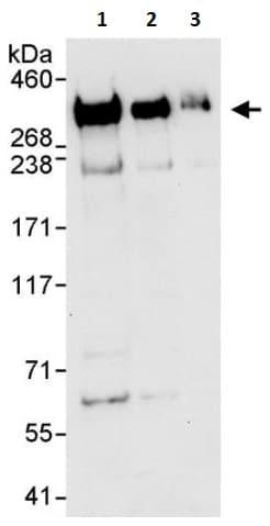 Western blot - Anti-Filamin A antibody (ab264183)
