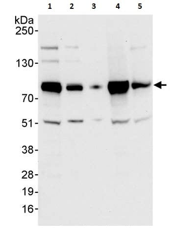 Western blot - Anti-BRF1 antibody (ab264191)