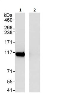 Immunoprecipitation - Anti-SFPQ antibody (ab264196)