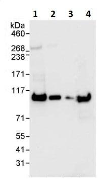 Western blot - Anti-SFPQ antibody (ab264197)