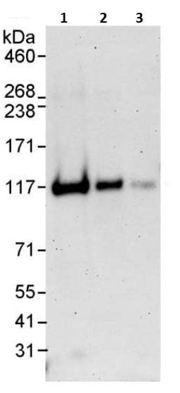 Western blot - Anti-Daxx antibody (ab264200)