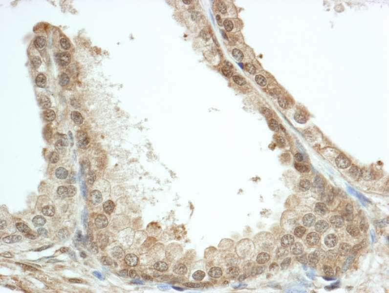 Immunohistochemistry (Formalin/PFA-fixed paraffin-embedded sections) - Anti-FKBP52 antibody (ab264204)