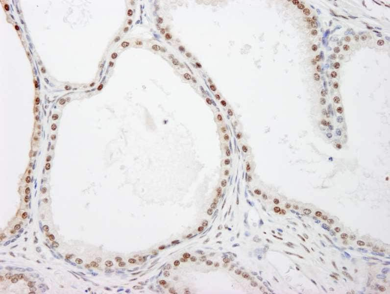 Immunohistochemistry (Formalin/PFA-fixed paraffin-embedded sections) - Anti-FKBP51 antibody (ab264207)