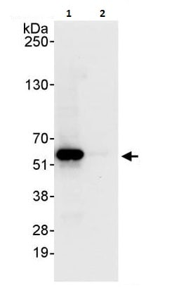 Immunoprecipitation - Anti-FKBP51 antibody (ab264207)
