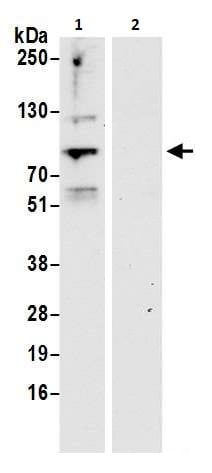 Immunoprecipitation - Anti-ELL antibody (ab264218)